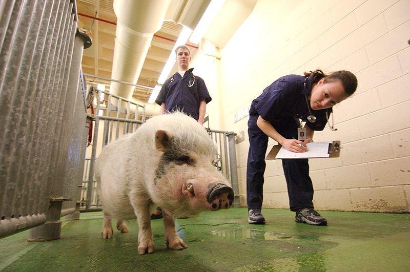 Африканская чума свиней «ушла» изДальнеконстантиновского района