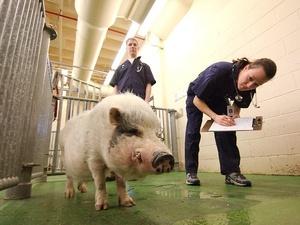 Африканская чума свиней «ушла» из Дальнеконстантиновского района