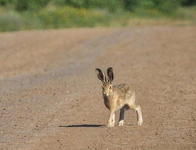 Охотиться на зайцев и лис в Нижегородской области можно будет с 1 сентября - фото 1