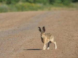 Охотиться на зайцев и лис в Нижегородской области можно будет с 1 сентября