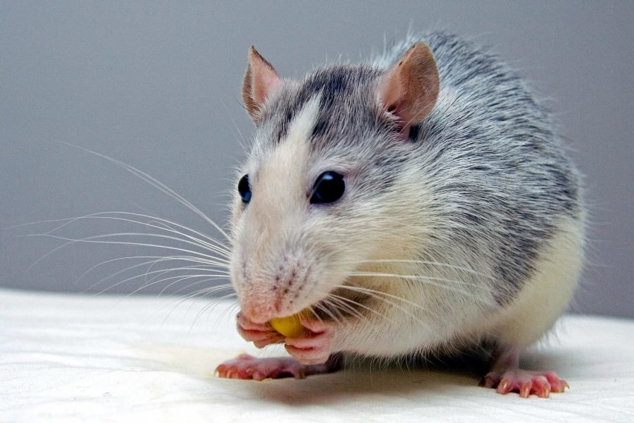 Спрос на крыс в Нижнем Новгороде увеличился на 27% - фото 1