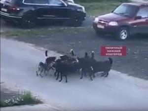 На стаю собак жалуются жители поселка Ждановский