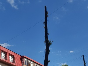 Инцел-активист начал борьбу против варварского отношения к деревьям в Нижнем Новгороде