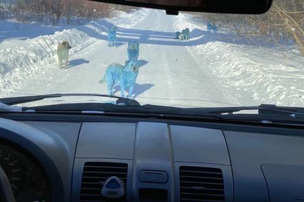 """""""Зоозащита-НН"""" попробует поймать синих собак из Дзержинска"""
